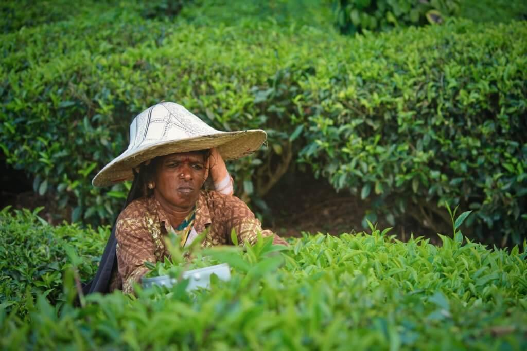 eten in India, vrouw werkt op theeplantages