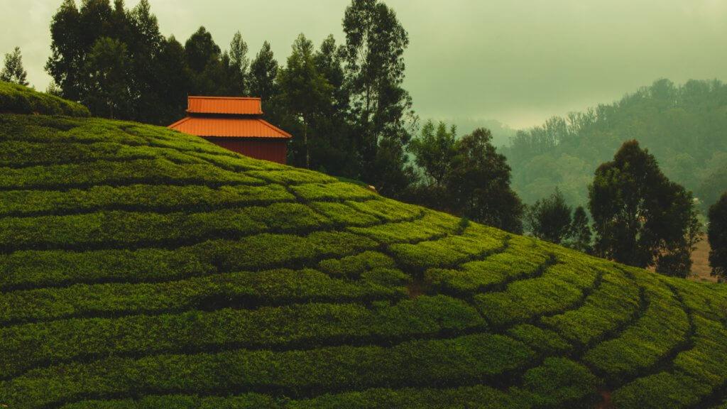 eten in India, theeplantages